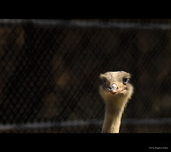 Hi! (Bogdan Suditu) Tags: bird fence zoo ostrich 50d tamronspaf70200mmf28dildifmacro platinumheartaward platinumbestshot