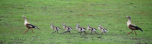 orinoco geese3