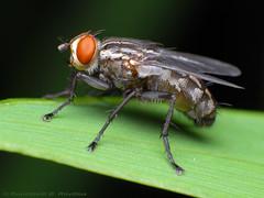 Flyday (Rundstedt B. Rovillos) Tags: macro fly reverselens macrophotography lamesaecopark nikond200 nikkor1855mm macrolicious reverselensadapter nikonsb400 diyflashdiffuser vosplusbellesphotos rundstedtbrovillos kentuckyfriedchickenplasticbucketlid diykfcflashdiffuser onehandmacroshootmethod kfcdiffuser