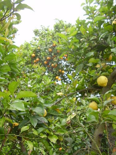 porto Citrons + oranges