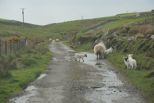 羊横断注意