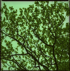 leaves in spring (morf*) Tags: trees england green leaves mediumformat spring crossprocessed bath somerset bronica mf xprocessed emerald hiroshige japaneseinfluence