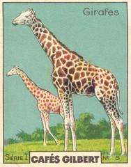 gilb girafes