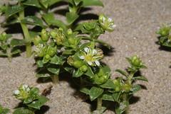 Honckenya peploides (Sea Sandwort) (greggys stuff) Tags: may caryophyllaceae peploides honckenya honkenyapeploides honckenyapeploides seasandwort