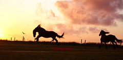 chevaux (The Family Dog) Tags: sunset horses horse silhouette cheval caballos fries cavalos ameland pferde paard paarden frisian equines friese cheveaux