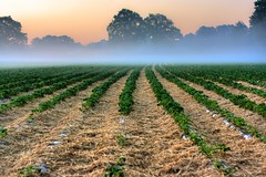 befogged strawberryfield [EXPLORE] (MitjaSchneehage) Tags: morning sunrise canon eos 50mm lowlight strawberry dof may 2009 fiel eff18ii 1000d
