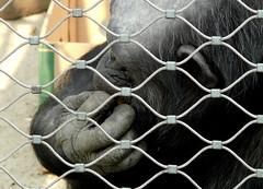 Skruszona mapka, na pewno co przeskrobaa (jjkason) Tags: zoo monkey biting nails chimpanzee repentant mapa paznokcie szympans obgryza