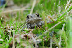 CommonToad (Bufo bufo) at RSPB Blacktoft Sands (Steve Greaves) Tags: portrait brown green nature face grass animal closeup bokeh wildlife amphibian naturalhistory warts naturereserve toad vegetation warty bufobufo rspb 2xteleconverter blacktoftsands commontoad dockleaf manfrottomonopod europeancommontoad nikond300 nikonafsii400mmf28ifedlens