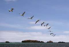 Pelican Island flying sequence (Craig Wilson Photography) Tags: ocean blue sea wild sky west bird nature water shop clouds photoshop island fly flying photo wings rocks action wildlife flight wing feather free australia pelican western land wa sequence habitat hazard seabird rockingham cs3 penguinisland