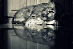 Imperturbable (Romi) Tags: morning light blackandwhite bw dog reflection byn blancoynegro luz maana kitchen nikon sleep sombra cocina shade reflejo sasha bonds dormir mascota perra d60 incamerabw