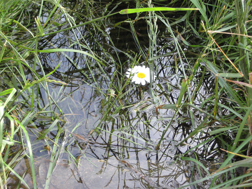 Daisy in a puddle