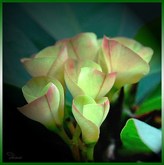 A Hint of Pink (Douano) Tags: pink flower green nikon bunch dandee douano