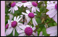 May Flower (susodediego ) Tags: macro nature grancanaria vespa wasp endemic canaryislands mayflower wespe avispa botanischergarten gupe floresdemayo oltusfotos leicadlux4 jardnbotnicovierayclavijo