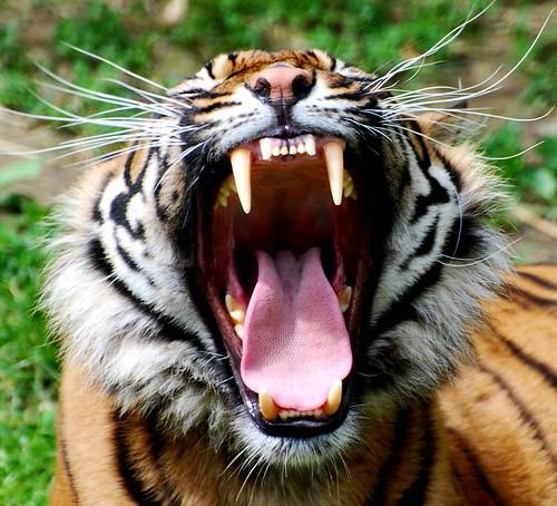 Tiger Teeth Pictures Tiger Teeth