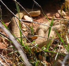 Rattlesnake, Grand Canyon National Park, Arizona (Bryan-Long-Photography) Tags: park travel southwest water creek river hall bill waterfall colorado desert hiking grandcanyon grand canyon deer national backpacking springs thunder narrows trailhead kaibabnationalforest northrimgrandcanyon indianhollow northrimofgrandcanyon tapeats monumentpoint forestroad22 jugpoint