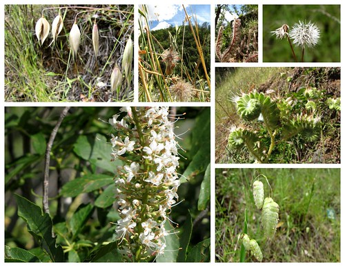 South Yuba Wildflowers-white-seeds