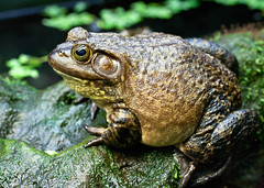 "Van2011 - aquar - toad • <a style=""font-size:0.8em;"" href=""http://www.flickr.com/photos/30765416@N06/5802929357/"" target=""_blank"">View on Flickr</a>"