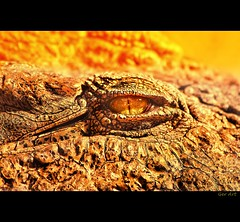 Cocodrile (Ger Art) Tags: espaa macro art nature valencia animal canon zoo spain natura 100mm cocodrilo usm ger alcasser alcacer cocodrile 40d bioparc gerart mygearandme mygearandmepremium mygearandmebronze artistoftheyearlevel3