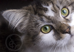 SBP_6833 (KaTrina Blanks) Tags: portrait pet cats cute animal animals cat nc furry kitten chat fuzzy kitty northcarolina kittens gato cuddly furryfriday gatto ritratto gatti animale kedi portre chaton petportrait gattino poils hayvan carino irin gattini sevimli peloso kediler animaledomestico bulank pisipisi yavrukedi affettuoso evcilhayvan tyl unamourdechat camoments venerdpeloso momentidigatto ritrattodacompagnia tylcuma kedianlar hayvanportre