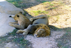 Lions at Friguia Zoo