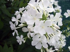 PHLOX paniculata 'Alba Grandiflora'