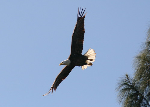 Eagle Flying 20090217