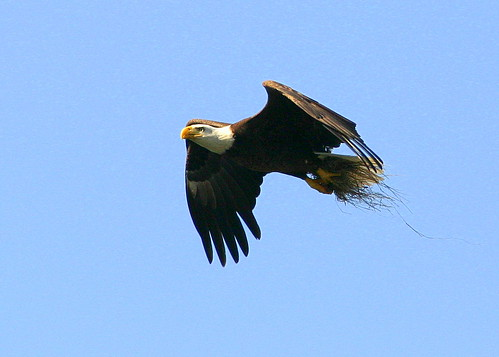 Eagle Carrying Grass 20090219