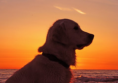 Golden on gold (Ingrid0804) Tags: sunset sea sky dog beach silhouette goldenretriever gold profile goldensunset mywinners abigfave diamondclassphotographer citrit