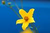 Yellow flower on blue (natureloving) Tags: blue flower macro nature yellow nikon dof searchthebest afsvrmicronikkor105mmf28gifed d40x natureloving flowersinfrance flowersonblue imagesonblue fleursenfrance