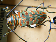 bugs (Neville Trickett) Tags: verde saint dead pattern insects bugs beetles anthropology collecting entomology trickett neville