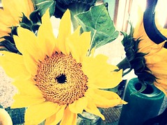 Let some sunlight in. (53/365) (Owl Eyes*) Tags: yellowflower sunflower 365 greencandle 365project