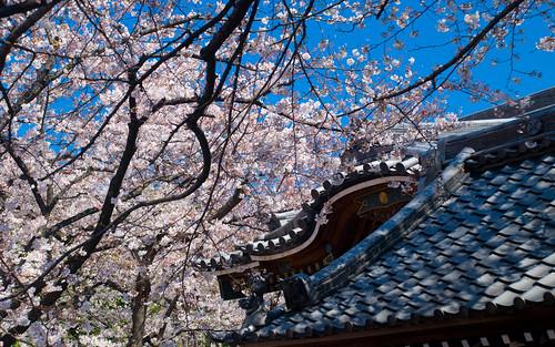 More Sakura 06