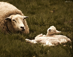 little Easter lambs (moggierocket) Tags: family smile animal easter spring babies lamb d200 thelittledoglaughed 70300vr infinestyle onephotoweeklycontest