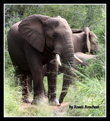 Elefantes (Roseli Ronchesi) Tags: elephant nature mammal natureza selva safari krugerpark elefante savanna mamfero manada frica savana paquiderme