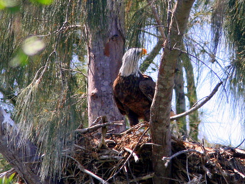 Adult At Nest 0090416