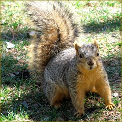 Do you have some Nuts? Denver Downtown, Colorado, USA (Batikart ... handicapped ... sorry for no comments) Tags: park city travel vacation usa brown holiday green nature animal closeup fauna america canon geotagged nagetier spring squirrel colorado holidays downtown unitedstates urlaub natur meadow wiese f100 denver stadtmitte stadt co grn braun amerika 2009 civiccenter vacanze tier innenstadt rasen frhling eichhrnchen canonpowershot a610 frhjahr foxsquirrel canonpowershota610 milehighcity 100faves stadtzentrum sciurusniger specanimal viewonblack baumhrnchen batikart saariysqualitypictures sciurini fuchshrnchen