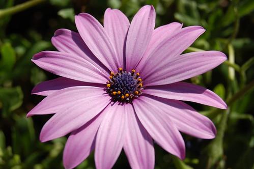 Margarita violeta