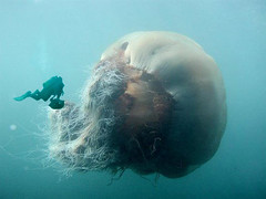 giant jellyfish & diver