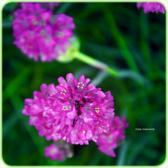 Pink Panther (deep house panther) Tags: pink flowers green focus dof growing pinkpanther theunforgettablepictures hppt paololivornosfriends winksplace mikytzsworld dankedirsomuch forsash germanfemalephotographers