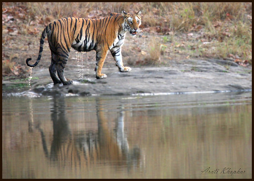 tigeress 2-3