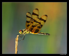 She comes in colors (feenixfotography) Tags: halloweenpennant celithemiseponina stmarksnwr specinsect diamondclassphotographer citrit