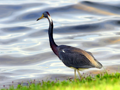 Tricolored Heron 5-20090522