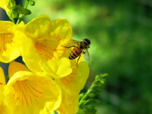 Bee on Esperanza