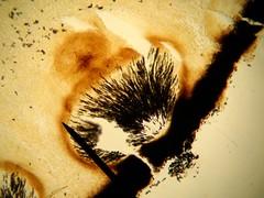 Ascomycota - himênio em peritécio ((biophotos)) Tags: macro fungi fungus slides biology microbiology microscopy basidiomycota biologia ascomycota fungo fungos lâminas gasteromycetes microbiologia