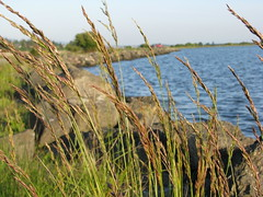 Long grass on the rocky shore.