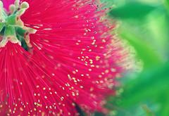 An'taitel is Untitled : )) (DELLipo™) Tags: flowers red plants flower beauty photoshop natural bokeh explore dell bunga capture d80 hdellr dellipo