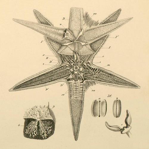 Echinodermata e