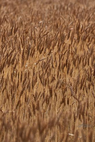 収穫期ですよ。。。麦畑。