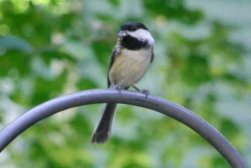 chickadee with worm