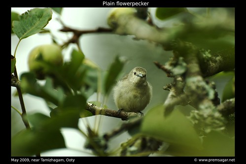 Plain Flowerpecker 1